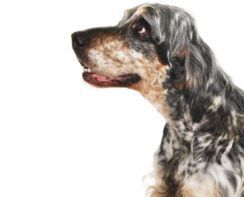 Моя собака - хороший слушатель, но насколько она меня понимает?