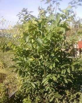 Выращивание на даче фундука 83