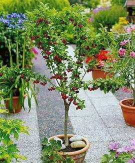 """Как вырастить черешню и вишню дома в саду? """" AvaStek.ru - Статьи, обзоры, авто новости. Общество и политика"""